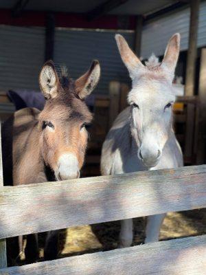 Donkeys  300x400 - Donkeys