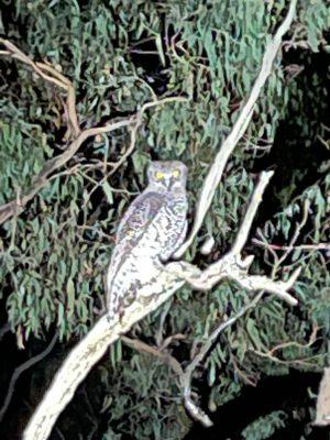 Powerful Owl 300x400 - Powerful Owl